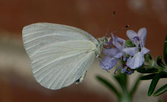 Margined White - Pieris marginalis - male