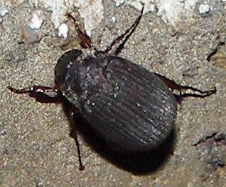 Serica (June) Beetle - Serica
