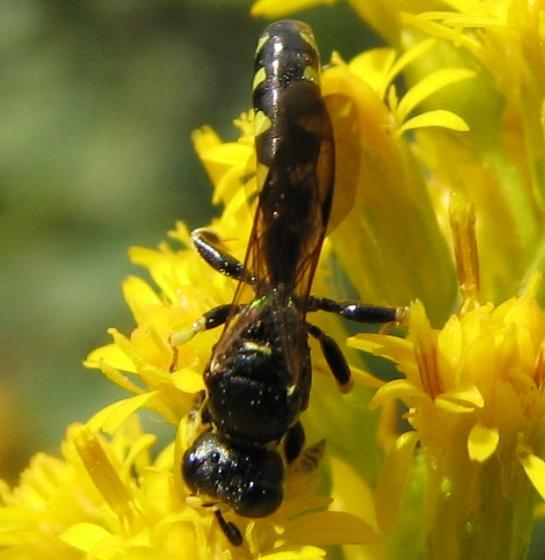 wasp - Crabro tumidus - male