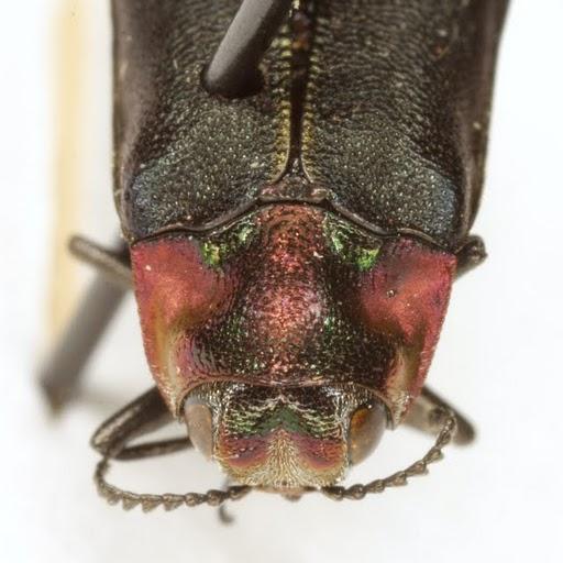 Eupristocerus cogitans (Weber) - Eupristocerus cogitans
