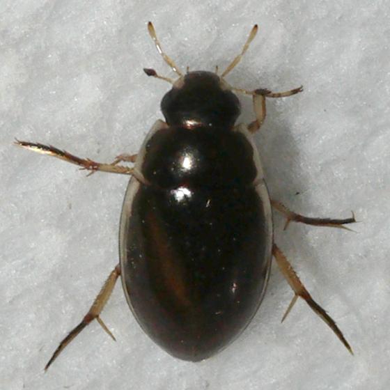 beetle - Tropisternus lateralis