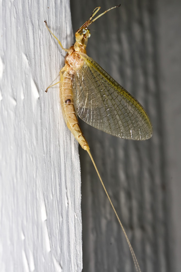 Mayfly with Big Eyes - Hexagenia limbata - female