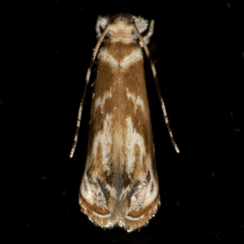 Hawaiian Dancing Moth - Hodges #0307.1 - Dryadaula terpsichorella - female