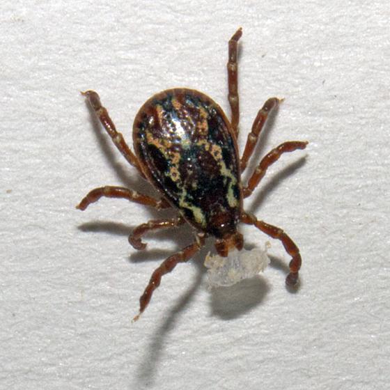 American Dog Tick - Dermacentor variabilis