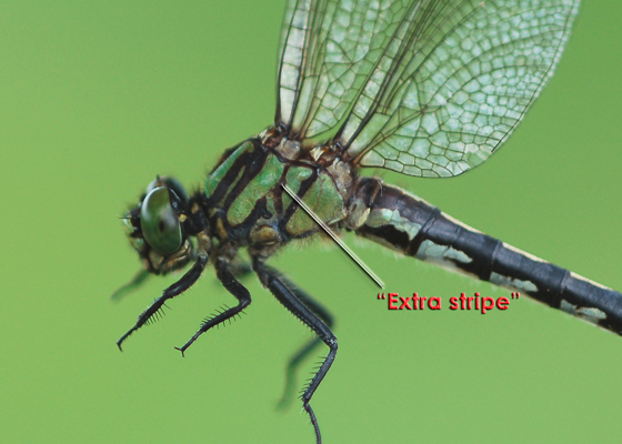 Extra-striped Snaketail female thorax pattern - Ophiogomphus anomalus - female