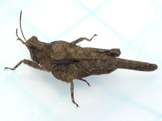 Grasshopper - Tetrix arenosa - male