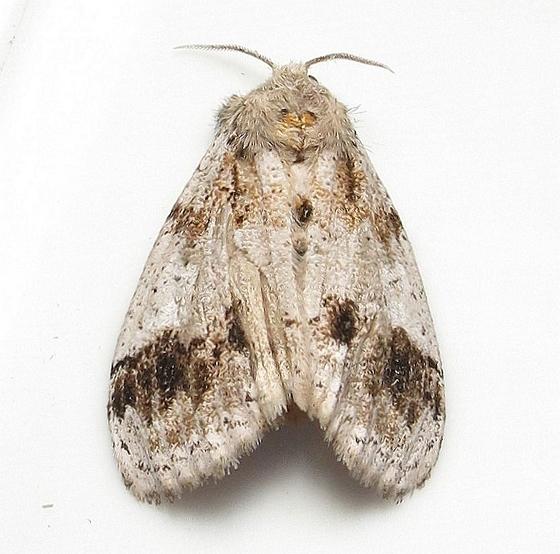 Hodges #8301 - Dasychira leucophaea - Dasychira leucophaea