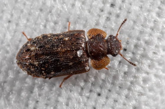 Unknown Beetle for Identification - Peltastica tuberculata