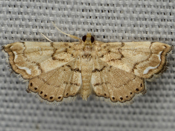 Lygodium Defoliator Moth - Neomusotima conspurcatalis
