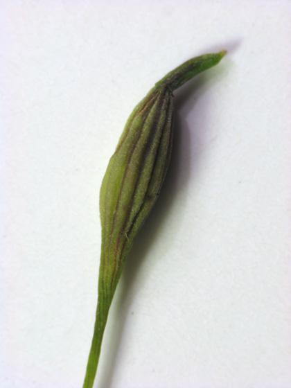 What is this? More goldenrod fauna - Rhopalomyia pedicellata