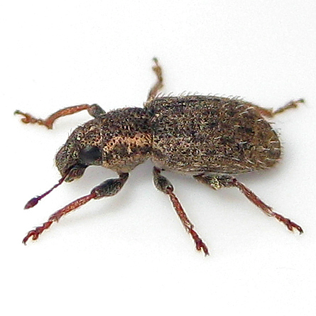 Clover Weevil - Sitona hispidulus