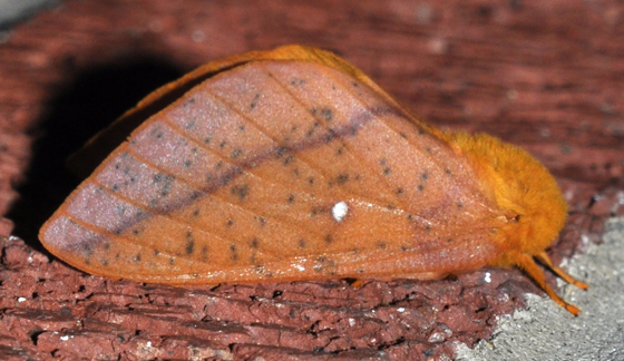 Spiny oakworm moth - Anisota stigma - female