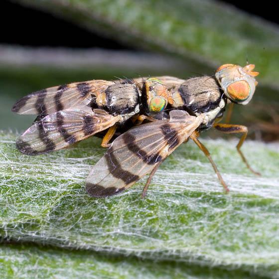 Mating Flies With Stripped Wings - Urophora jaceana