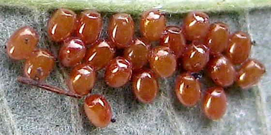 Eggs on blackberry - Sabulodes aegrotata