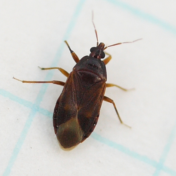 bug - Lyctocoris campestris