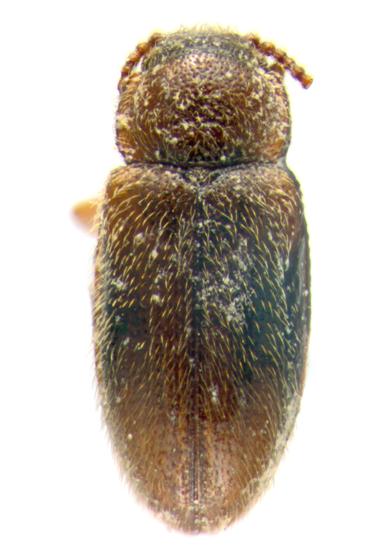 Erotylidae, dorsal - Cryptophilus seriatus