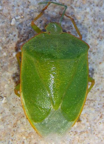 green stink bug - Chinavia marginata