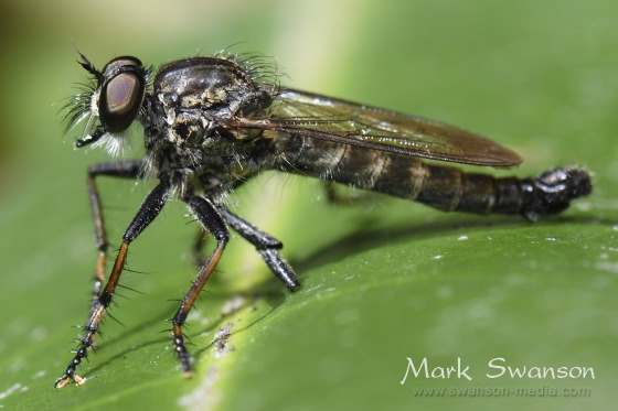 Unidentified Robber Fly - male