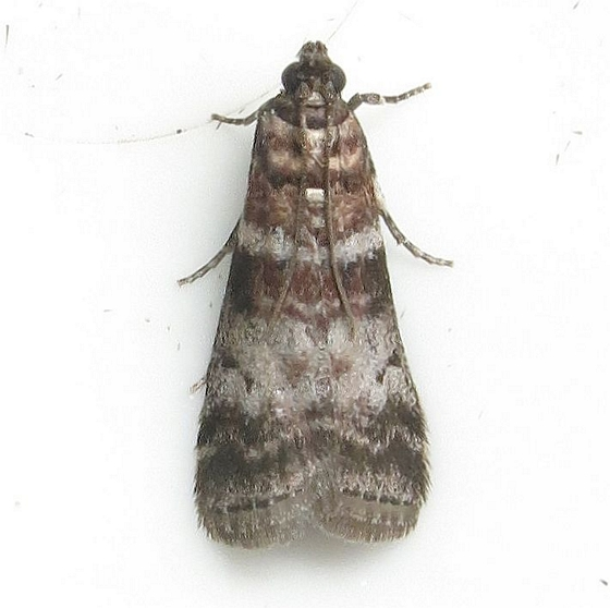 Hodges #5802 - Seweetgum Leafroller Moth - Sciota uvinella