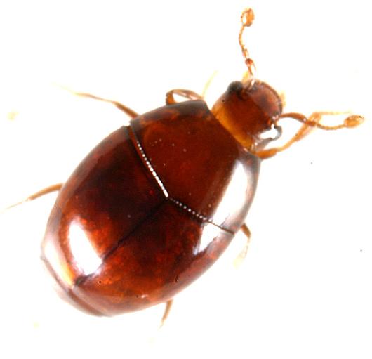 tiny beetle - Aeletes politus