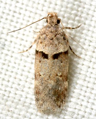 Moth - Faculta inaequalis