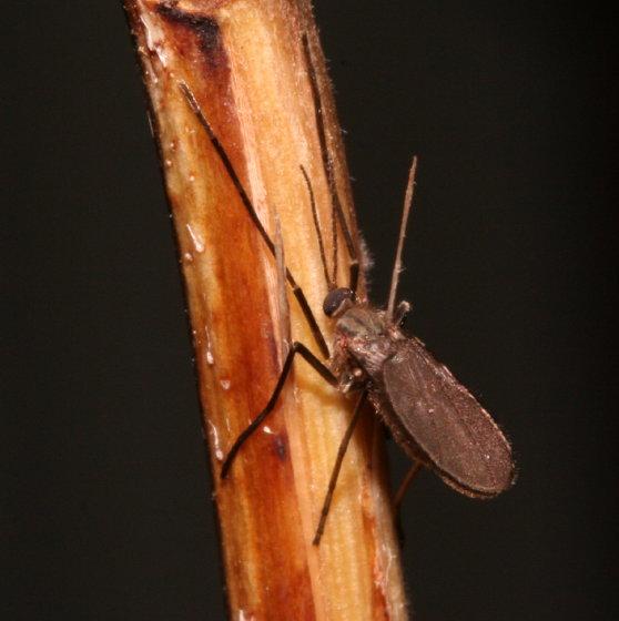 Cecidomyiidae - Asphondylia helianthiglobulus