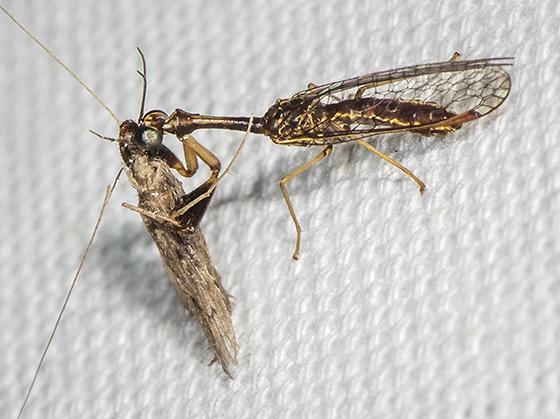 Mantidfly with caddisfly prey