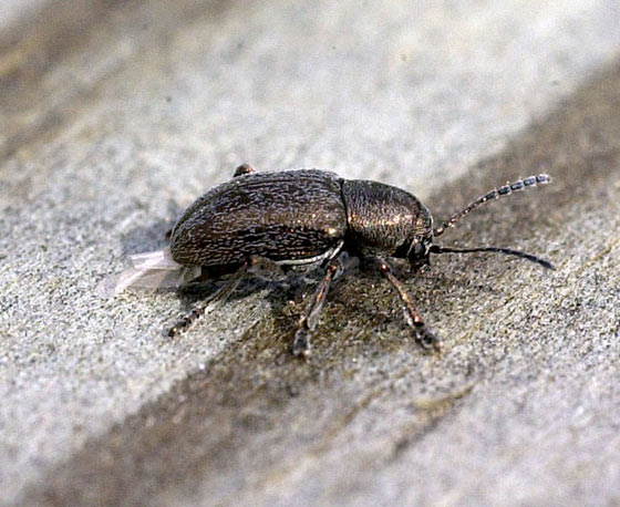 Gold Leaf beetle - Graphops pubescens