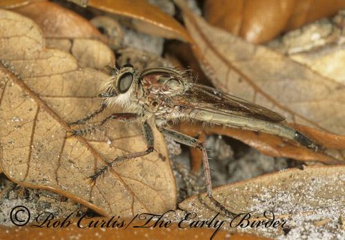 260832 Proctacanthus - Proctacanthus brevipennis