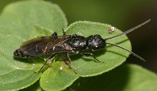 wasp - Pristocera armifera - male