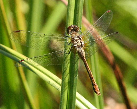 Female Dragonfly - Sympetrum obtrusum - female