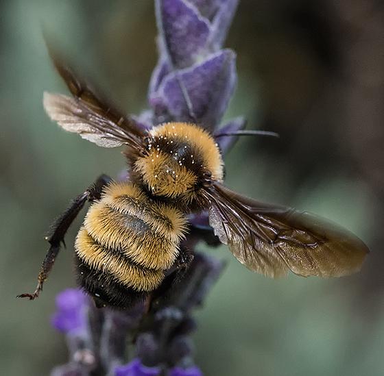 Local Bumble on the Lavender - Bombus sonorus