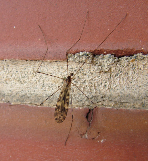 Crane Fly - Limonia triphaea