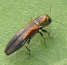 Jewel beetle - Agrilus delicatulus
