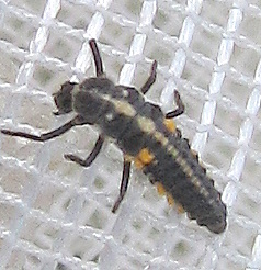 Coccinellid larva - Cycloneda