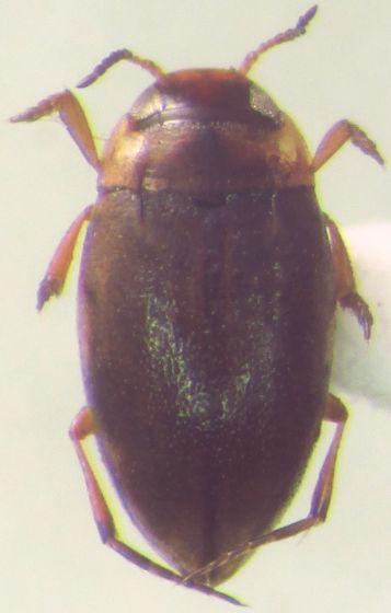 Small Dytiscidae - Liodessus affinis