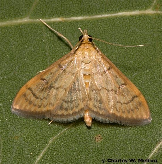 Moth - Anania labeculalis