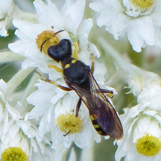 Crabronid Wasp? - Ectemnius maculosus - male