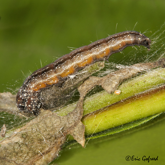 Ailanthus Webworm Moth - Atteva punctella - Atteva aurea