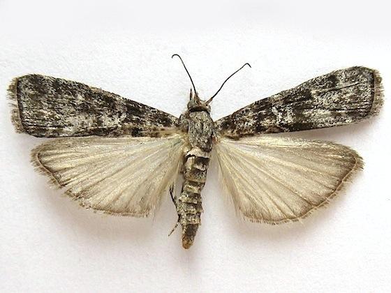 Fir Coneworm Moth - Dioryctria abietivorella