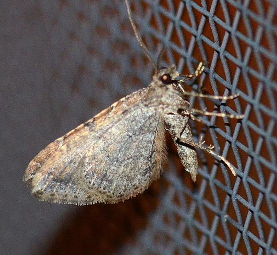 moth A - unident - Orthonama obstipata