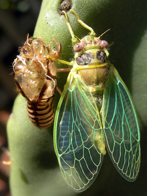 unknown CA bug emerges from larvae - Platypedia