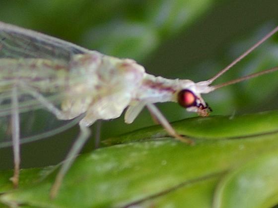 Green Lacewing - Meleoma