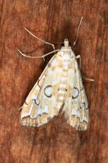 Moth - Elophila icciusalis