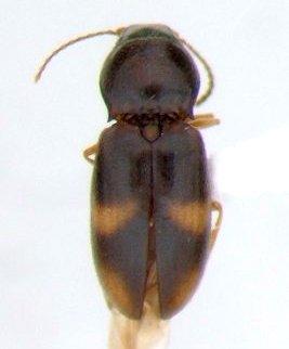 Paradonus obliquatulus