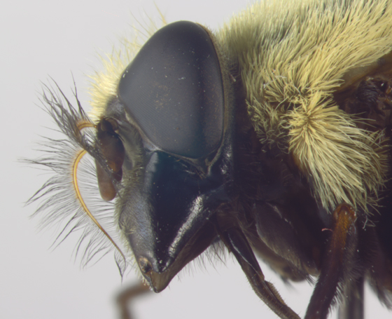 Syrphidae, head - Volucella bombylans-complex