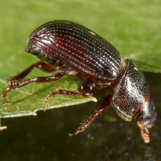 Tiny Digging Beetle - Aegialia