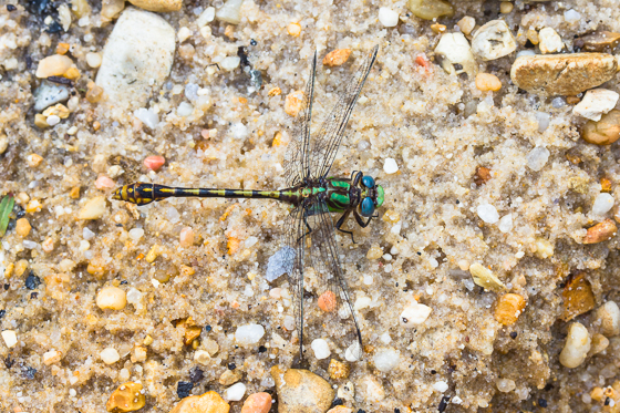 Southern Snaketail - Ophiogomphus australis - male