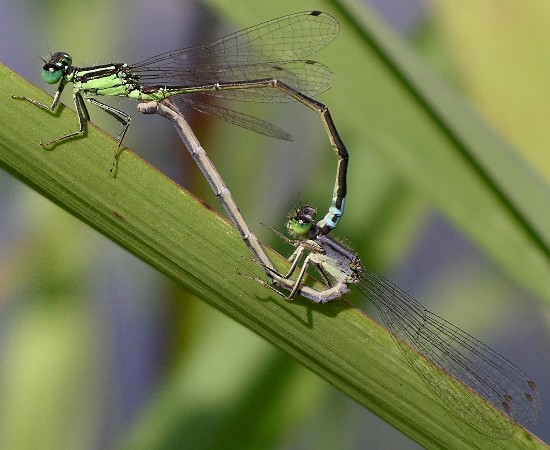 mating pair - Ischnura verticalis - male - female