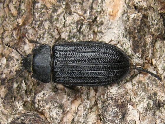 some bark-knawing beetle - Grynocharis quadrilineata - female